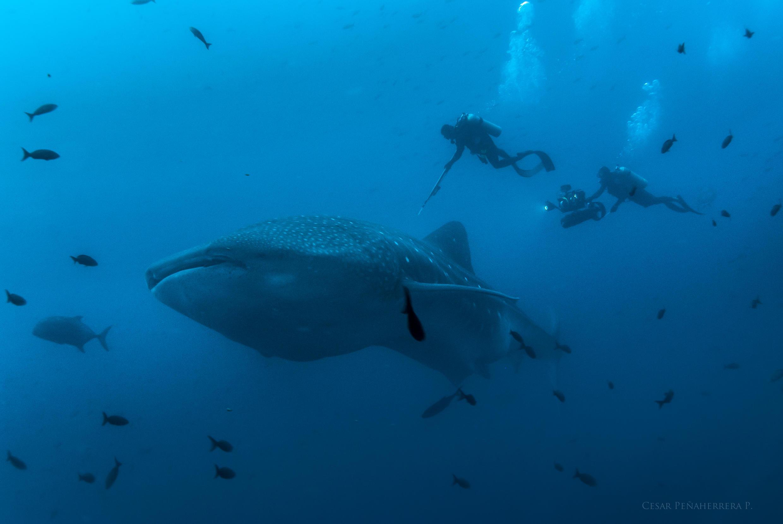 Se calcula que un tiburón ballena puede llegar a vivir hasta 100 años aunque se conoce muy poco sobre esta especie en peligro de extinción.