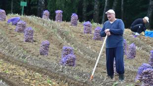 Александр Лукашенко на уборке картофеля, 26 августа 2017.