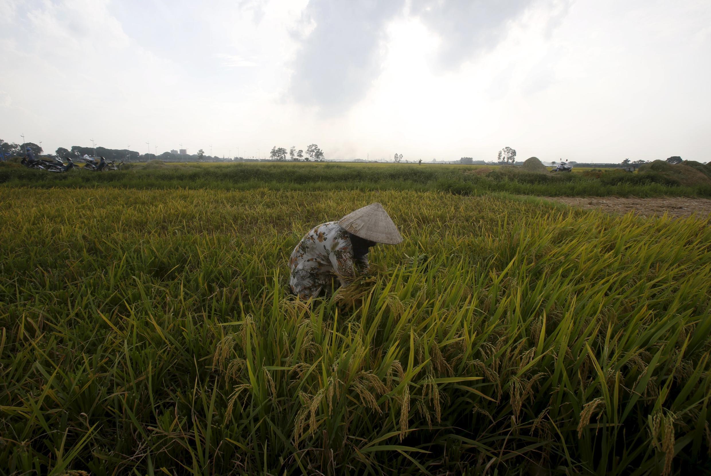 Một đồng lúa ở đồng bằng sông Cửu Long.