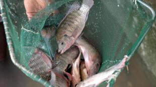 Un pêche de tilapias, au Sénégal.