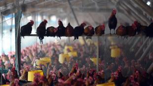 Một trại gà ở tỉnh An Huy, đông Trung Quốc ngày 20/11/2015.