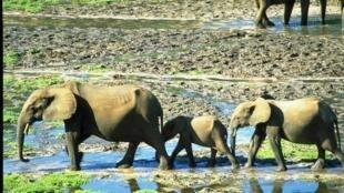 Famille d'éléphants dans la réserve de Dzanga Sangha.