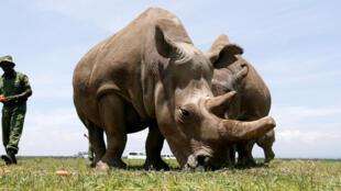 Najin et Fatu, les deux dernières représentantes vivantes de rhinocéros blancs du Nord, à la réserve kényane d'Ol Pejeta Conservancy, dans le parc national de Laikipia, le 31 mars 2018.