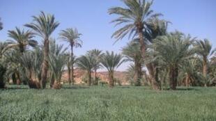 Un massif de palmiers dattiers.