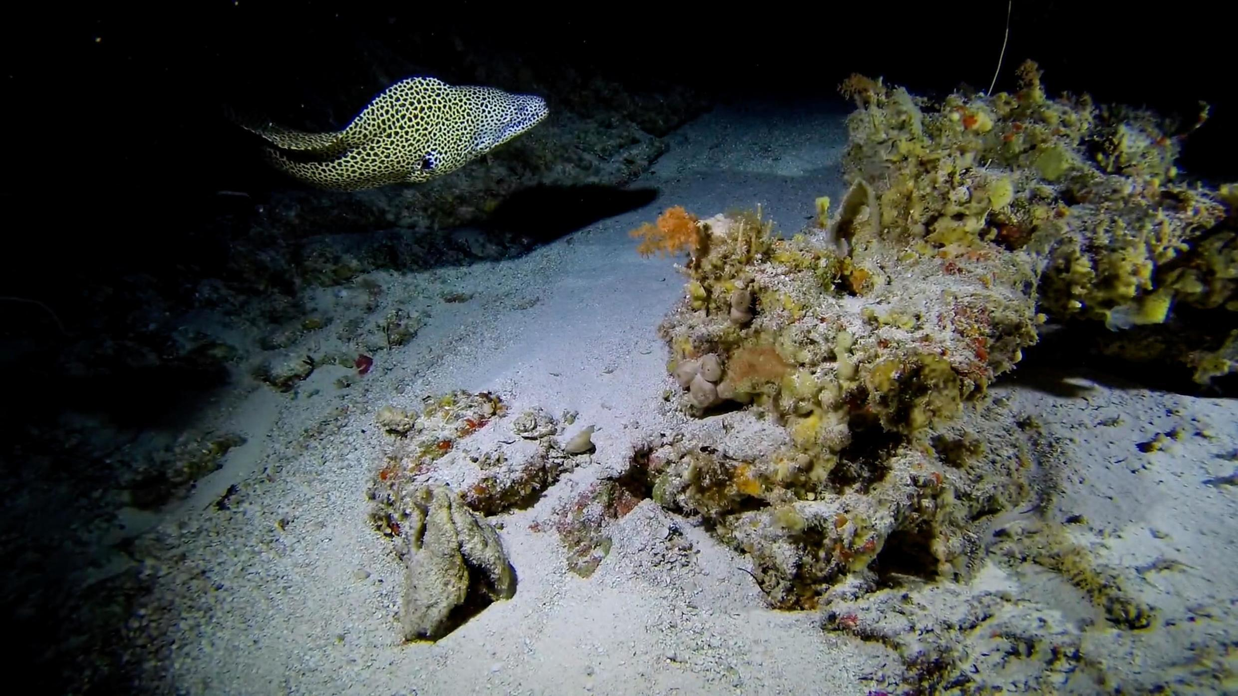 The Indo-Pacific predatory fish, Honeycomb Moray Eel, lit up by the submersible at Alphonse island.