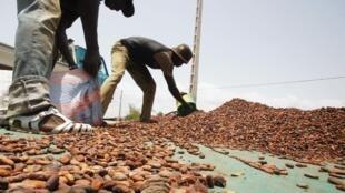Récolte de cacao en Côte d'Ivoire.
