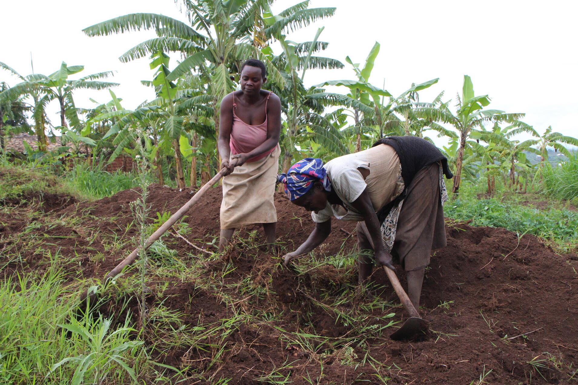 Des femmes travaillent la terre dans l'ouest du Rwanda.