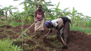 Wanawake hawa wakifanya shughuli yao ya kilimo magharibi mwa Rwanda, Lakini wakulima wengi wamesema mvua zimeharibu mashamba yao.