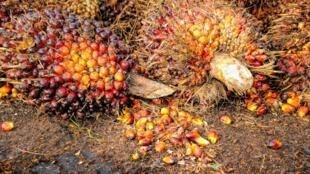 L'huile de palme est extraite par pression à chaud de la pulpe des fruits du palmier à huile (illustration).