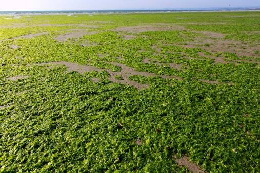 Green algae in Brittany.