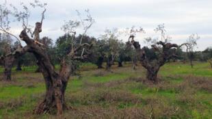 Des oliviers malades de la régions des Pouilles, en Italie.