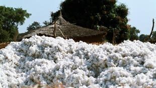 Au Mali, la culture du coton est de nouveau leader en Afrique pour l'année 2017.