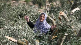 Une Palestinienne en colère après avoir découvert, sur ses terres, plusieurs oliviers détruits.