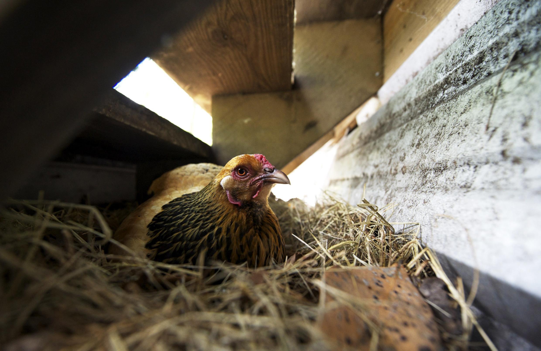 Doux é líder europeia de produção de aves.