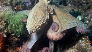 Octopus stocks in Senegal's waters have fallen by up to 90 percent.