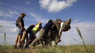 Le braconnage des rhinocéros s'est intensifié ces dernières années en raison de la demande asiatique où sa corne est utilisée dans la médecine traditionnelle.