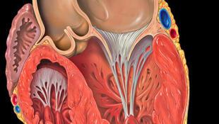 Il y aurait deux fois plus de risques d'infarctus du myocarde ou d'accident vasculaire cérébral chez les femmes ménopausées qui ont un taux d'œstrogènes plus élevé que la normale.