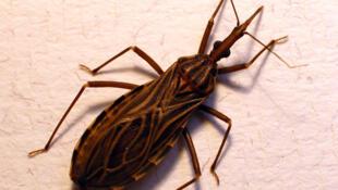 Esta especie de chinches transmite la enfermedad de Chagas en América latina.