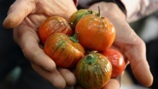 Algunos agricultores italianos están cultivando de nuevo las berenjenas rojas, una vieja variedad importada de África al principio del siglo XX.