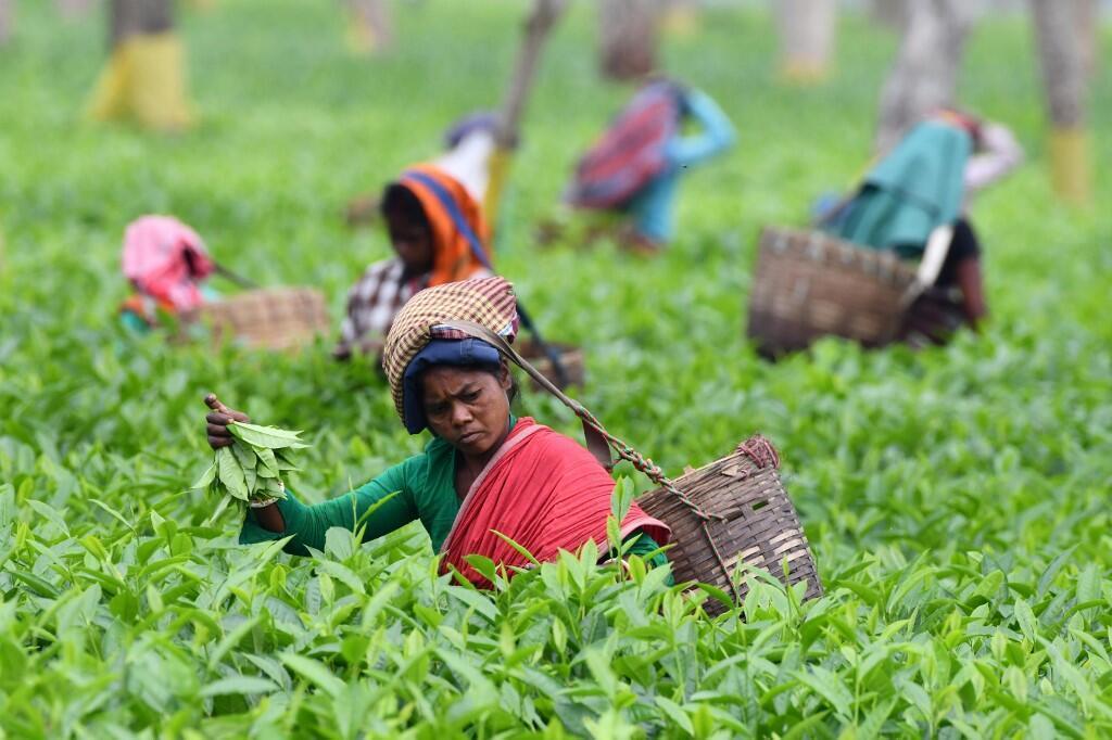 Une plantation de thé à Gohpur, dans la région de l'Assam, au nord-est de Inde, le 30 mars 2019.