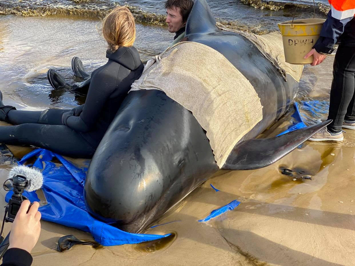 Volunteer rescuers try to save whales in the bay of Macquarie Harbour in Tasmania, 22 September.