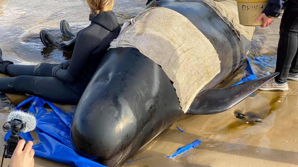 Australie: la bataille pour sauver près de 200 dauphins échoués dans une baie