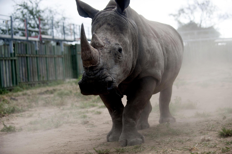 Faru katika Hifadhi ya kitaifa ya Kruger, Afrika Kusini.