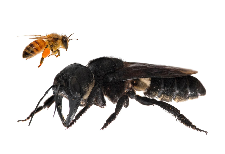 Image comparant une abeille à miel et un specimen de «Megachile Pluto»
