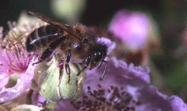 As abelhas estão ameaças por pesticidas
