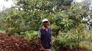 Morrison Mwanga, fermier du comté de Murang'a, dans son champ d'avocatiers. «Les avocats m'ont permis de scolariser mes enfants dit-il.»