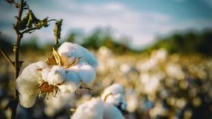 Coton - cotton-2807360
