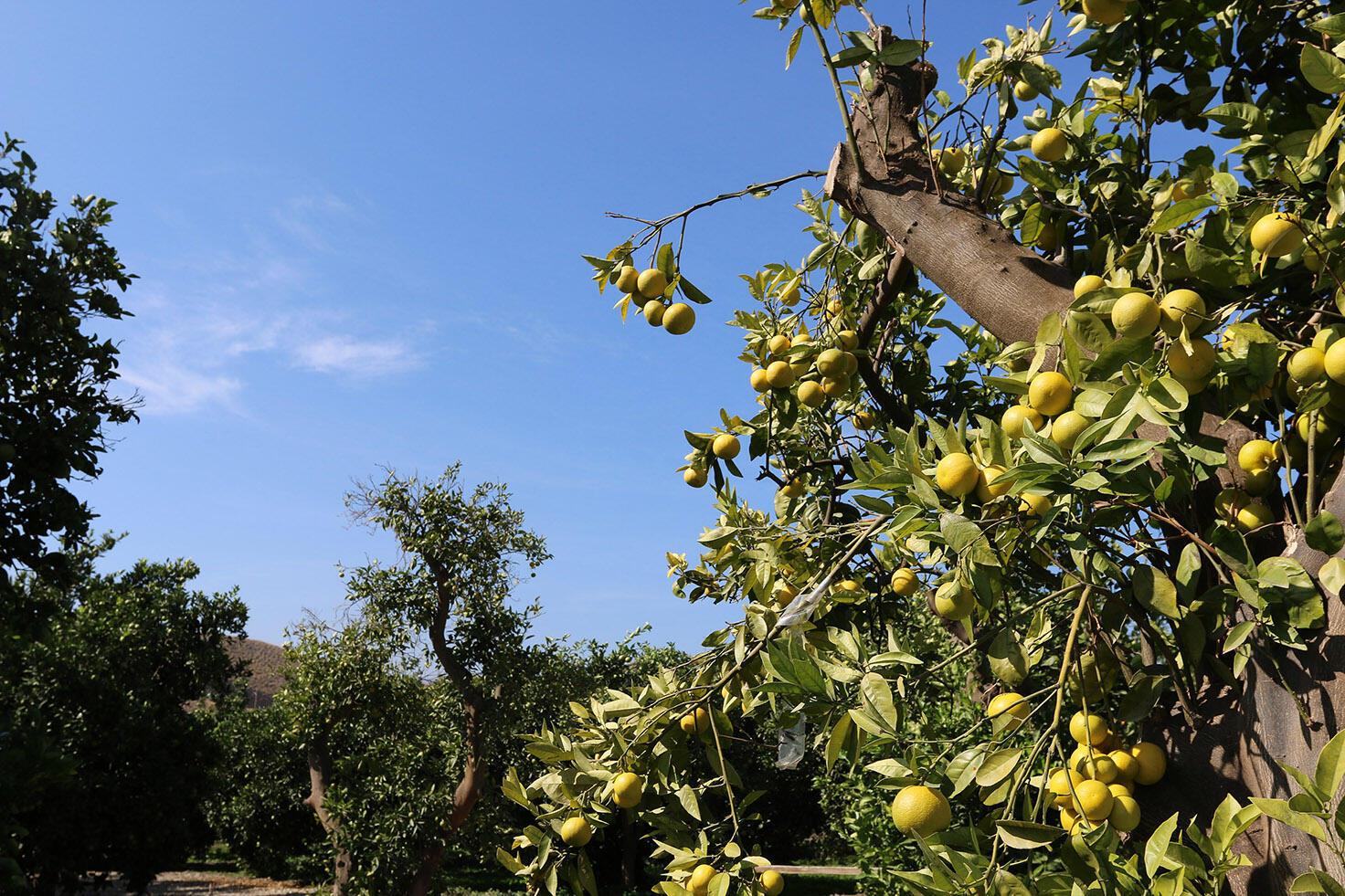 L'Organisation mondiale des agrumes (World Citrus Organisation), créée en septembre de l'an dernier, vient de tenir son premier congrès mondial au début du mois de novembre, le premier «Global Citrus Congress».