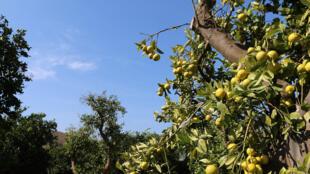 Un arbre fruitier en Andalousie. L'Espagne n'a pas été épargnée par la baisse de production des agrumes en Méditerranée cette année.
