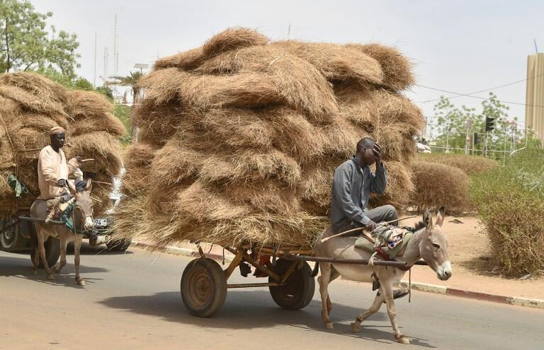 Au Niger, les ânes sont un pilier de l'économie agropastorale: transport, agriculture, traction... l'âne est sur tous les fronts (photo d'illustration, mars 2016).