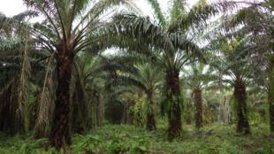 En 2009, Feronia, l'entreprise canadienne d'agrobusiness, rachète à Unilever, ses plantations congolaises, 100 000 hectares de palmiers à huile.