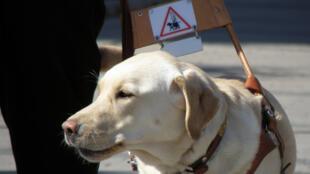 O cão-guia é um animal adestrado para guiar pessoas cegas ou com deficiência visual grave, ou auxiliá-los nas tarefas caseiras.
