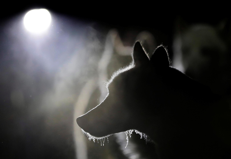 Собаки, которых используют как рабочих животных (напр., ездовых), редко проявляют агрессию. Кроме сторожевых, которых специально притравливают на человека