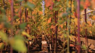 Une véritable forêt de pots dans lesquels les croisements de plants s'épanouissent sous la chaleur de lampes fluorescentes.
