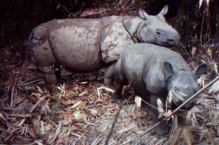 Des rhinocéros de Java dans le parc national de Ujung Kulon en 2012.