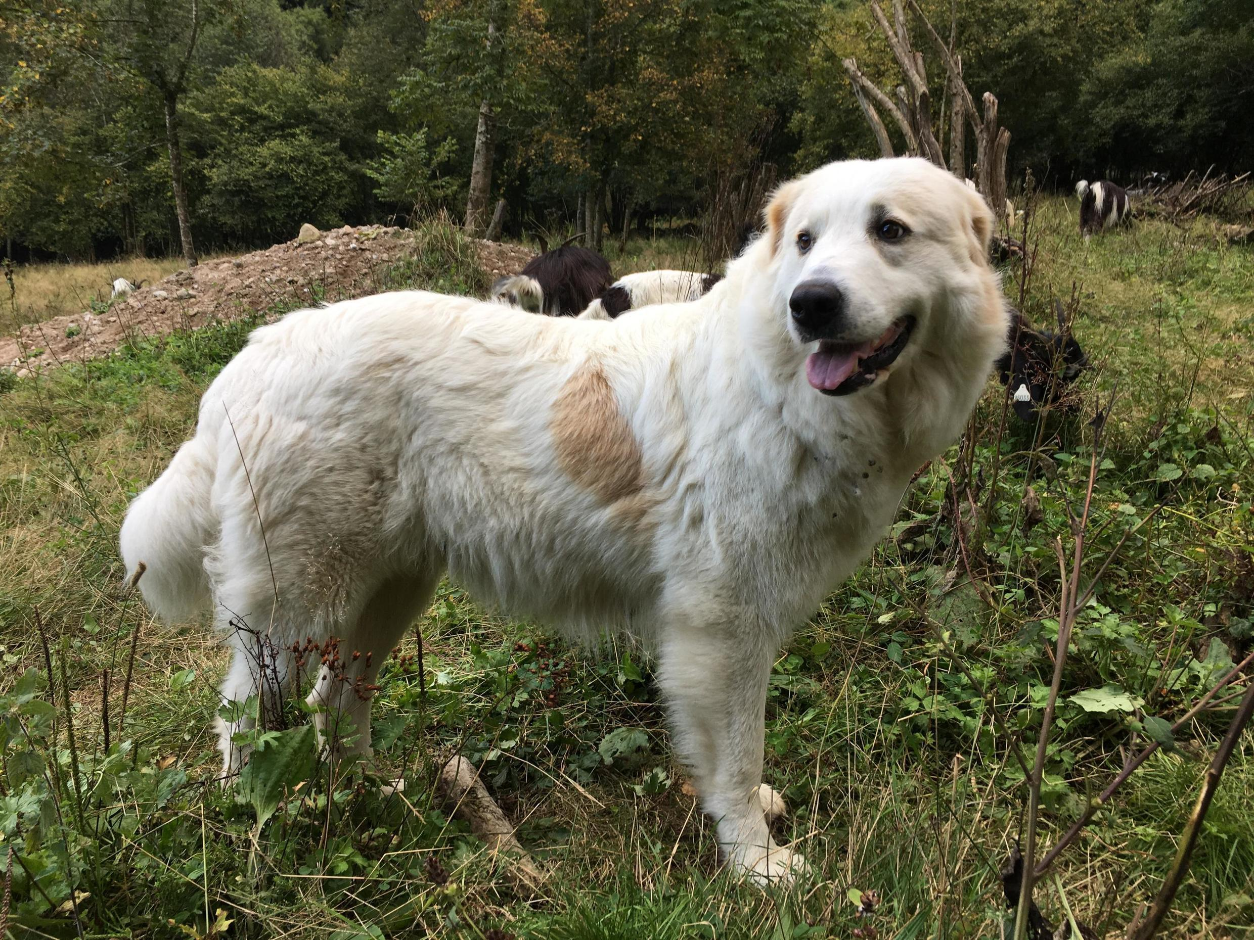Great Pyrénées dogs are recognisable by their large size, white coats and general calm demeanour – except when alerting shepherds to the presence of an intruder.