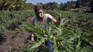 Une fermière cubaine travaille dans sa ferme de La Havane, le 23 juin 2020, au milieu de la pandémie de coronavirus.