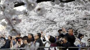 日本东京樱花盛开时赏花的游客,2015年3月31日。