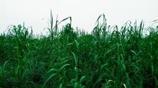 Un champ de mil en Afrique, dans la région du Niger.