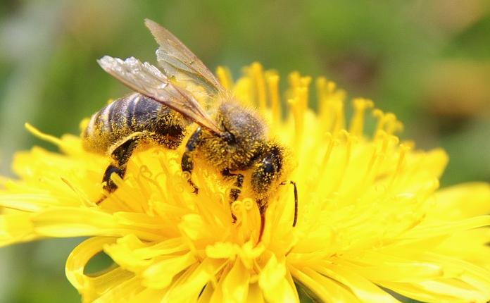 Uma abelha em uma flor dente de leão.