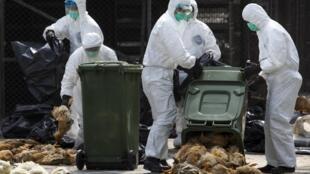 Operação sanitária de aves em Hong Kong, nesta terça.