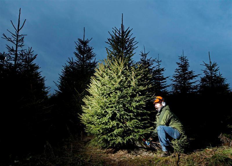 Елки, которые выращивают специально для рождественских праздников.