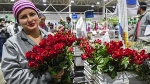 Une employée d'une ferme horticole à Tabio, dans le département de Cundinamarca, en Colombie, pays qui fait partie des quatre principaux fournisseurs du marché de la rose équitable.