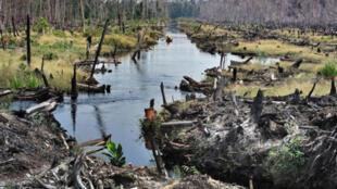 印度尼西亞的Pangkalan Bunut森林,專家估算每年全球有1300萬公頃消失,將給地球生態帶來難以彌補的傷害