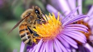 Apis mellifera là loài ong phổ biến nhất châu Âu (Photo : John Severns)