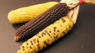 Atualmente, apenas o milho OGM da Monsanto, MON810, é cultivado no continente europeu.